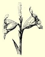 Fleur de lys d'après nature