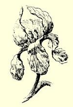 Fleur d'iris d'après nature